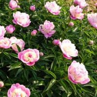急ぐ花たち