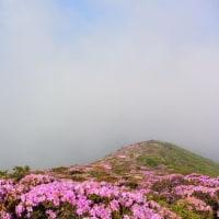 平治岳 終わりかけのミヤマキリシマ