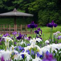 2017 神楽女湖のハナショウブ 2(早朝から役目を終えた花を摘む人たちがいる)《大分県別府市枝郷》