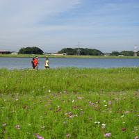 遠賀川河川敷のコスモス