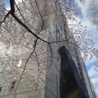 弁護士会館の桜