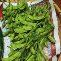今朝の収穫、枝豆を初収穫。