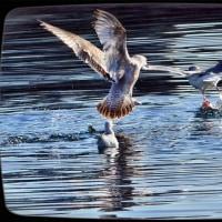鳥さんたちの暮らし<福良漁港にて・南あわじ市>