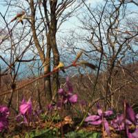 過ぎ行く春を惜しむ角田山