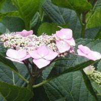 ジャガイモの花とガクアジサイの花