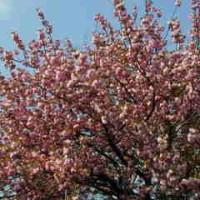 ちょっと、遅いかもしれないけれど、桜だよん