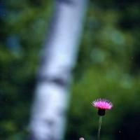 花の詩「アザミ(薊)」