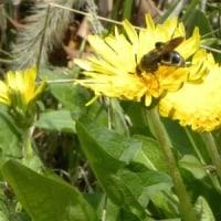 土手のカントウタンポポにヒメハラナガツチバチ