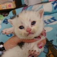 スコティッシュの子猫ちゃん
