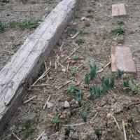 大根の種を蒔きました。