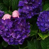 アジサイと子ブタちゃん (hydrangea and piggies)
