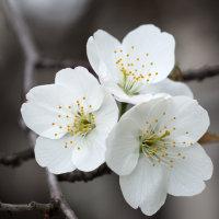 桜咲く(Ⅳ)