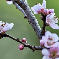 桃もモー咲いてます