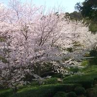 桜を見る人