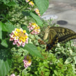 アオスジアゲハ蝶の世界ー4