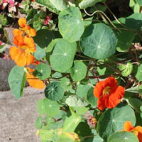 ハスに似た丸い葉をしたキンレンカ(金蓮花)