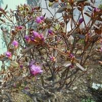 庭の花が心癒やしてくれる 今日は風が冷たいけど…