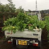 大根の収穫が始まりました。