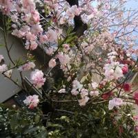三色の八重桜