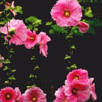 梅雨の花 170620