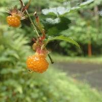 須津川散歩:モミジイチゴの実が出来ています。食べごろです。