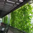 緑のカーテン、テラス側完成