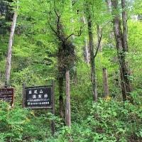 「今日の日記、裏高尾に分け入り新緑の桂の林の写真を撮る」