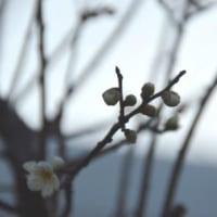 白梅咲く 1.23