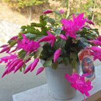 三度目の開花