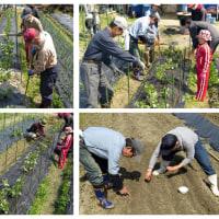 堆肥撒きと春まき葉物野菜達