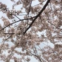 焦ってお花見、目久尻川。でもまだ咲いている〜