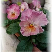 やさしい色のフリンジビオラ、花数増えてきた~♪