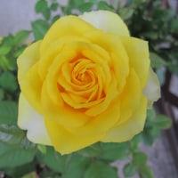 玄関に咲いた薔薇