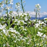 白い立山を前にした農家の畑は花が溢れる(2)・・・立山町