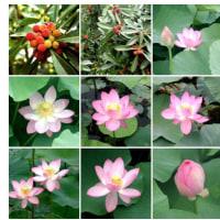 20050626千葉公園。今が蓮の花が綺麗に見えます。