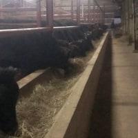 夕方の牛舎