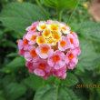牛久沼の蓮の花