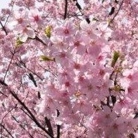 桜、さくら~♪