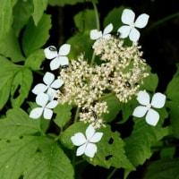 冬芽の観察119エゾアジサイ2
