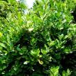 樹木ウォッチング冬から夏へ227マサキ