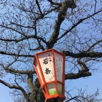 金沢の桜開花予想は、今週末。川沿いは、もう少し後かな? 主計町。