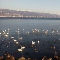 諏訪湖に白鳥が来ました