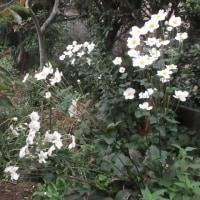 庭の花 161023