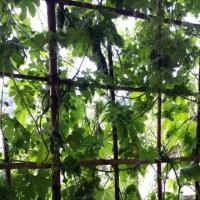 わが家のグリーンカーテン