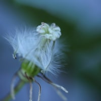●我が家の5月の花(9) 八重のドクダミ・白雪姫 アヤメ ユキノシタ  クレマチスの綿毛 ヤグルマギク