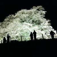 突然思い立ち、醍醐桜へ。