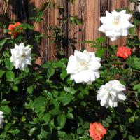 きょうの薔薇1019