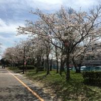 神之池-桜(2)