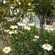 マーガレットの白が清純 風に靡きながら折れもせず咲いている