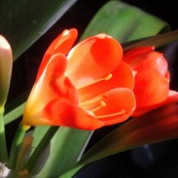 菜の花  クンシラン